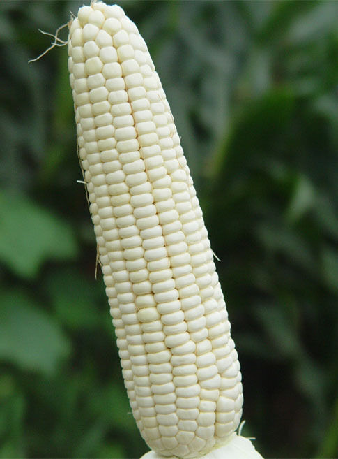 White waxy corn Seed vegetable seeds for home bonsai ...
