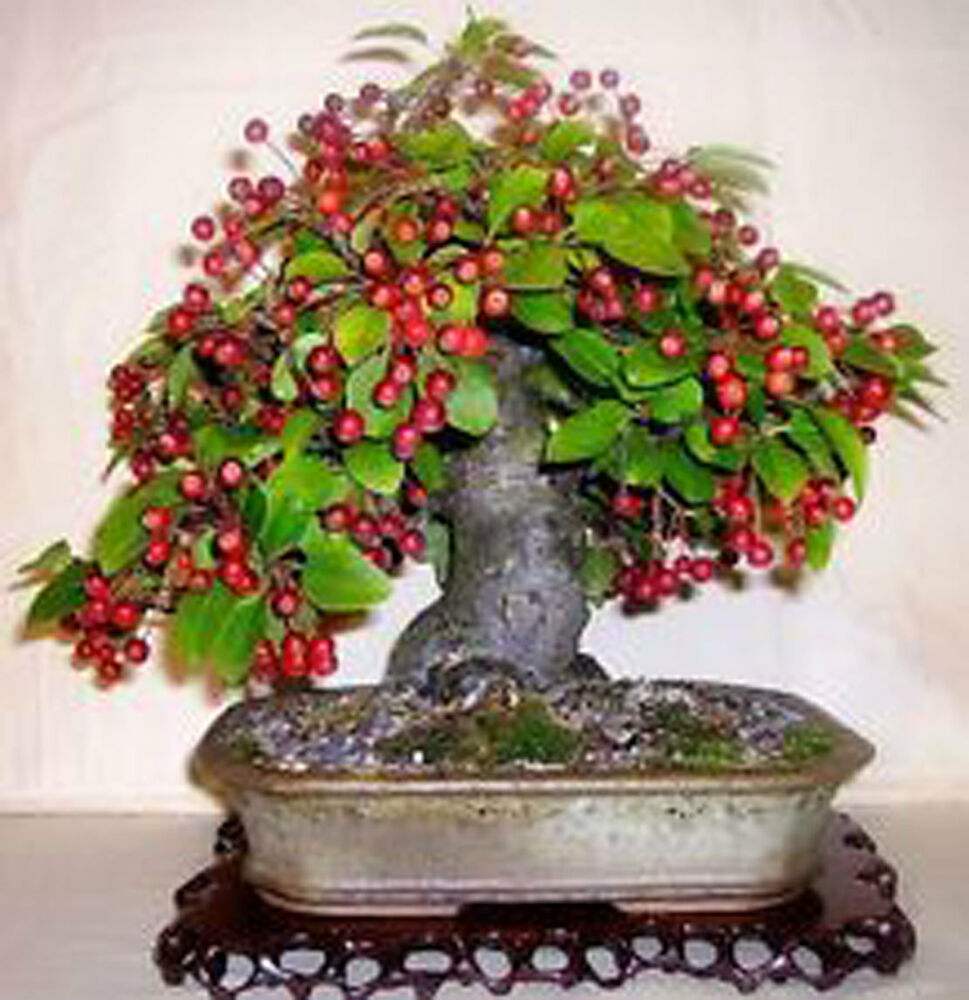 10 seeds of mini european crab apple bonsai tree home grow for Vendita bonsai on line