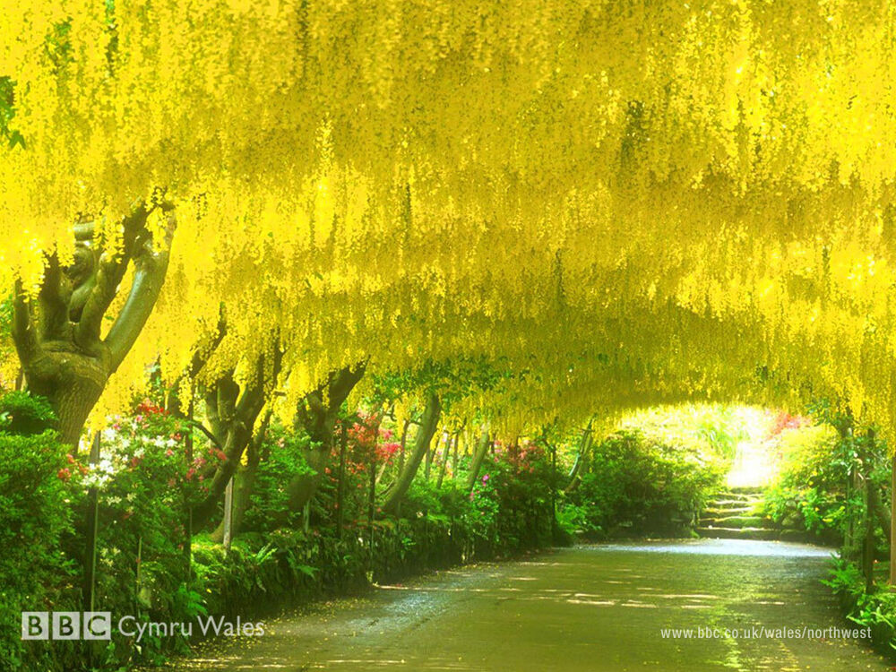 how to grow laburnum from seed