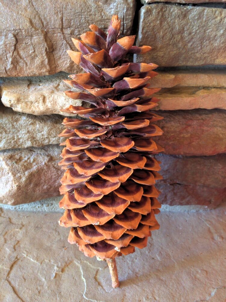 Very large natural sugar pine cone for crafts ebay for Small pine cone crafts
