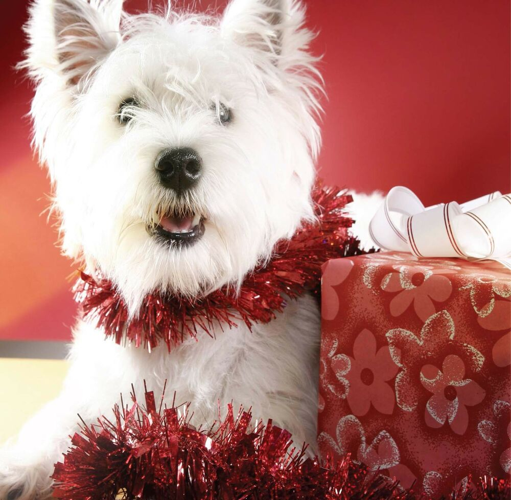 6 x Christmas Cards Pack - Westie Puppy Dog West Highland Terrier ...