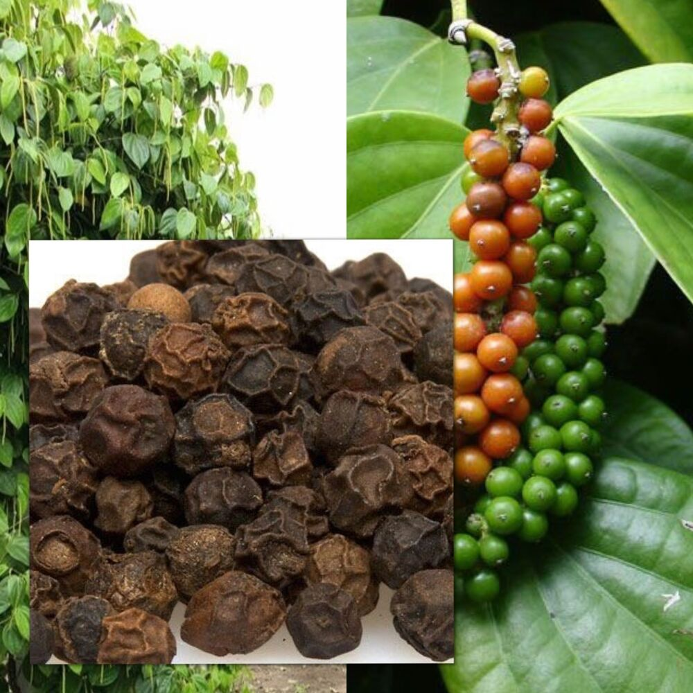 Piper nigrum 10 seeds, Black pepper, Heirloom Seeds ...