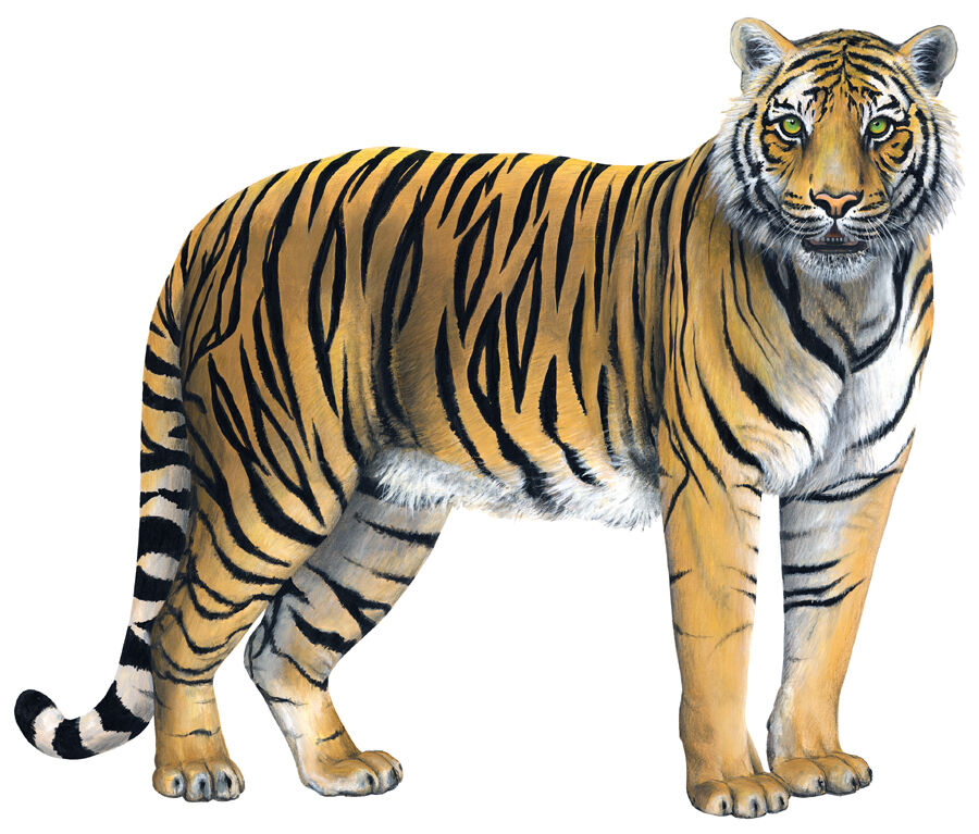 Tiger Wall Stickers Decals Giant Wildlife Mural Ebay