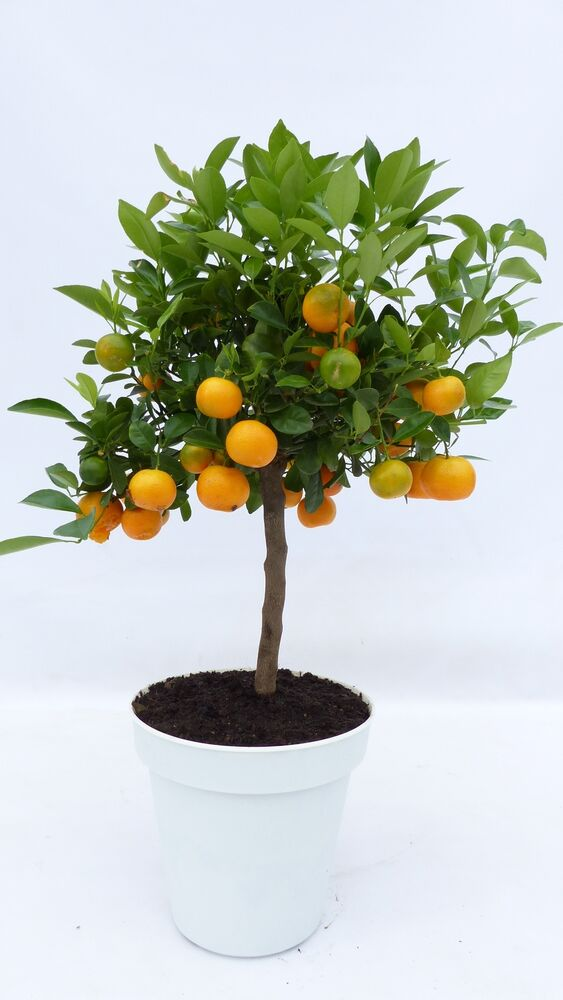 calamondin orange citrus mitis 80 90 cm hoch orangenbaum calamondino ebay. Black Bedroom Furniture Sets. Home Design Ideas