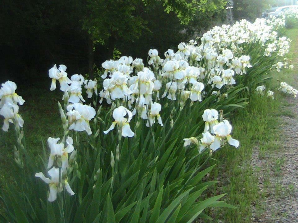 how to grow bearded iris bulbs