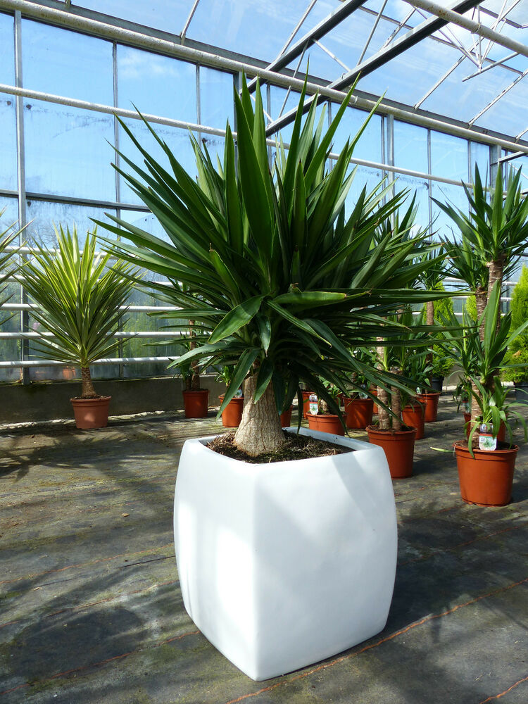 xxl dicke yucca palme elephantipes 90 110 cm hoch zimmerpflanze b ropflanze ebay. Black Bedroom Furniture Sets. Home Design Ideas