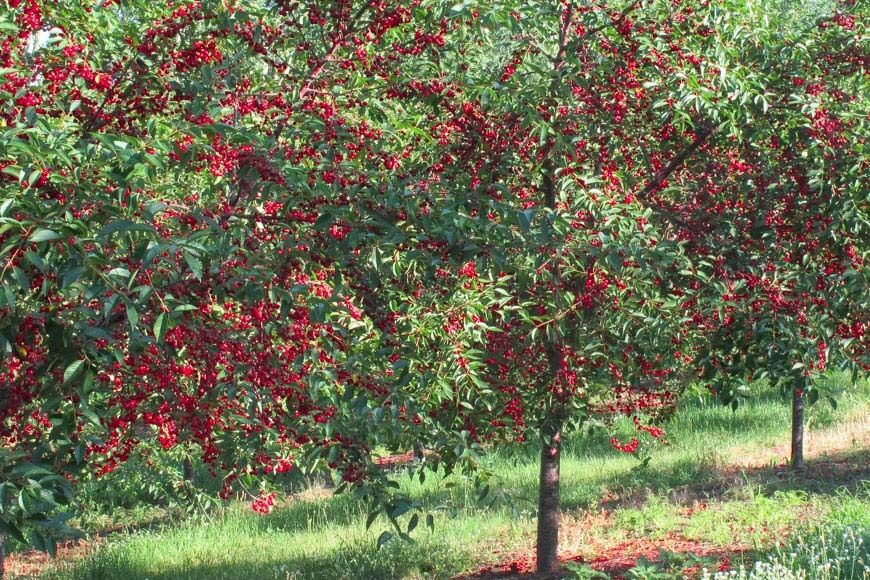 Organic Heirloom Tart Red Cherry Tree Early Richmond Type
