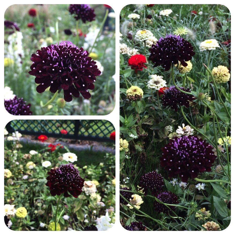 garten skabiose black knight scabiosa atropurpurea fast schwarze bl ten ebay. Black Bedroom Furniture Sets. Home Design Ideas