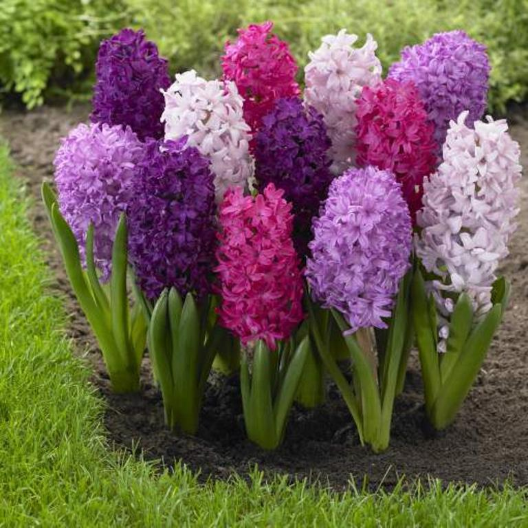 Hyacinth Bulbs Mix Color Shipping Now Ebay