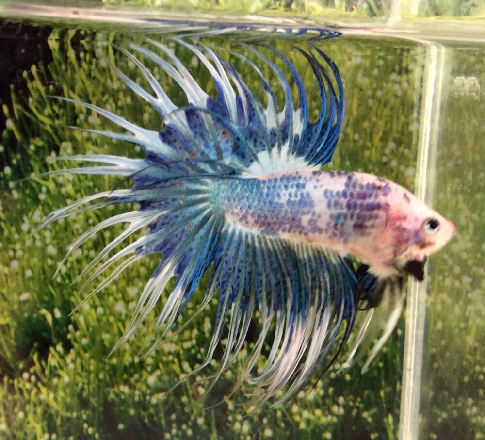 Thai import fancy multicolor male ct crowntail betta for Fish that can live with betta fish