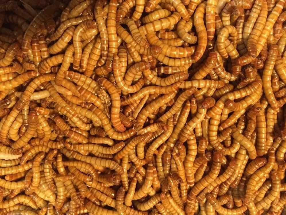 Live giant mealworms wholesale bulk worms 500 1000 for Mealworms for fishing