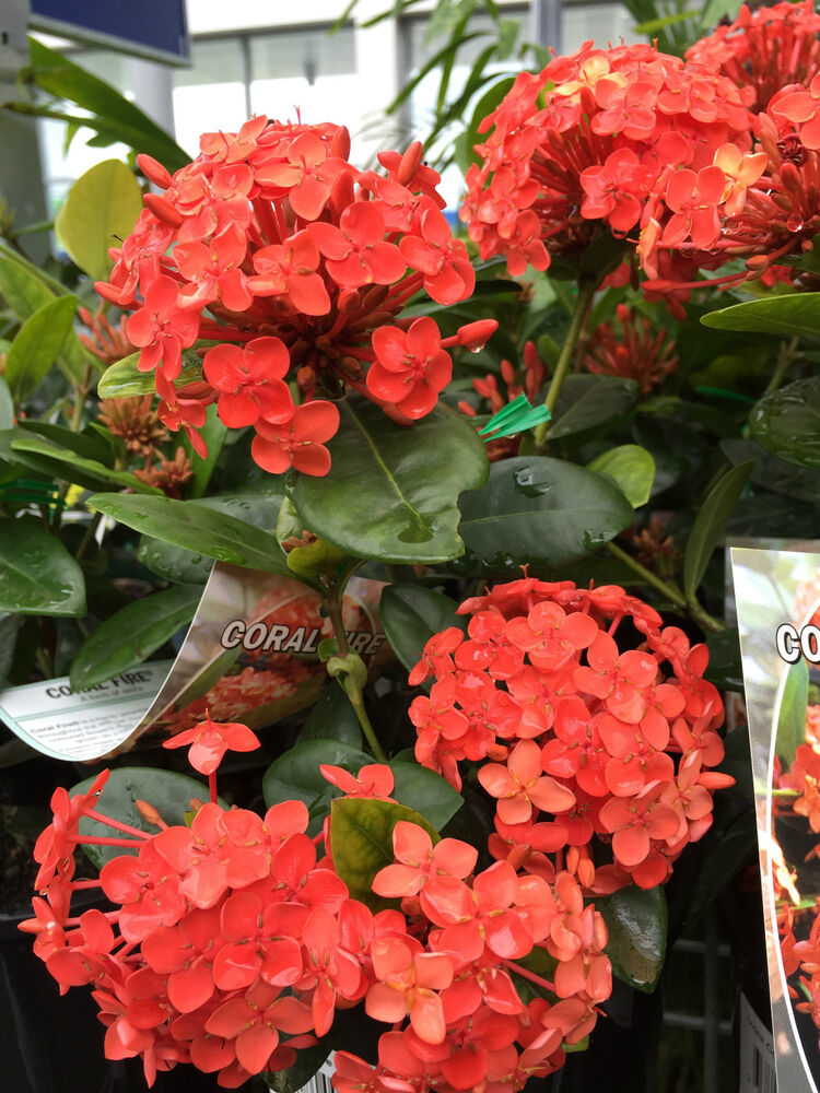 Buy Ixora In Orlando Florida Lake Mary Kissimmee Sanford: CORAL FIRE Ixora Part-shade Flowers Hedging Plant In 200mm