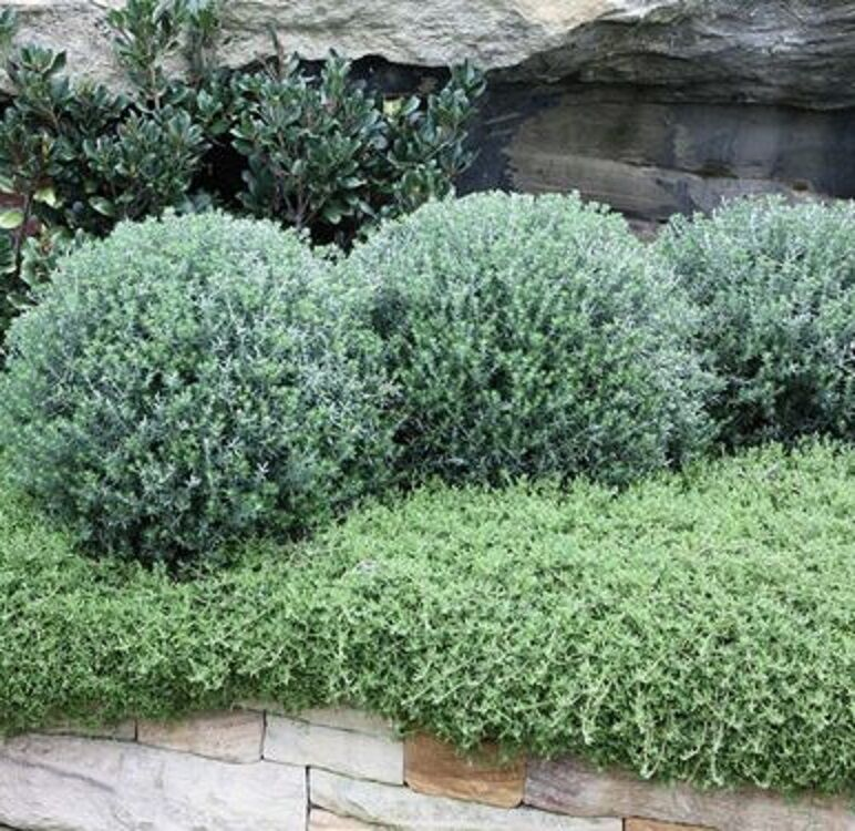 Funky chunky westringia native hardy low hedge plant in for Hardy low maintenance shrubs