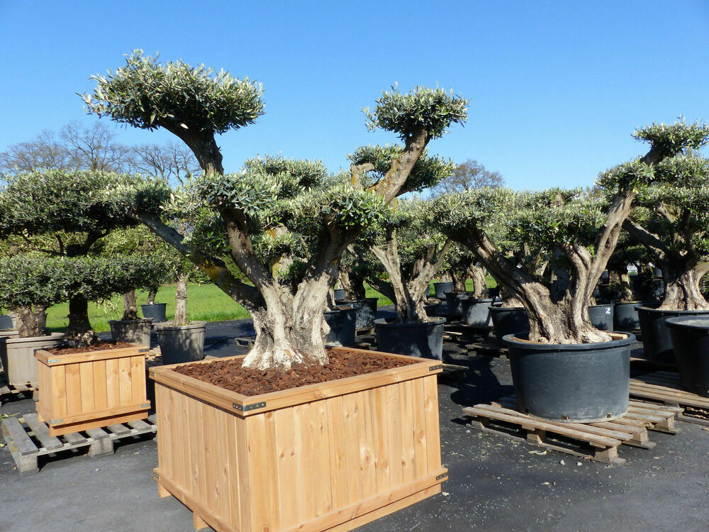 olivenbaum bonsai mega pon pon 200 220 cm olive winterhart formgeh lz ebay. Black Bedroom Furniture Sets. Home Design Ideas