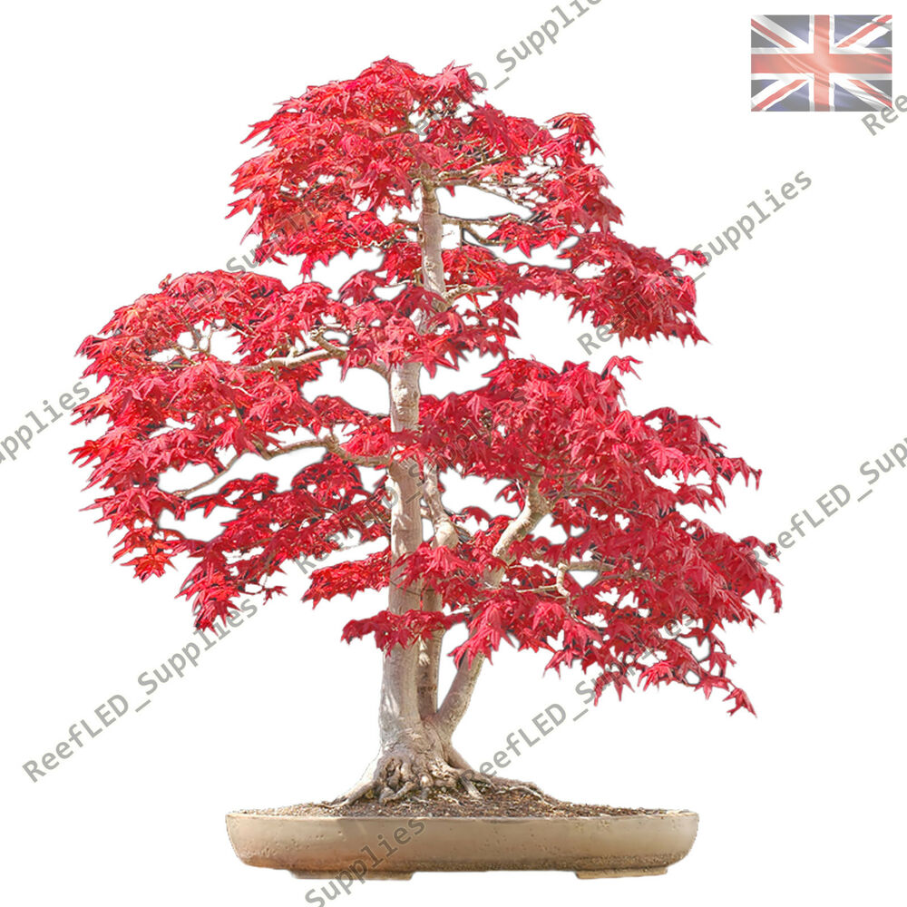 Acer Palmatum Bonsai Japanese Maple Small Leaf 20x Fresh Viable