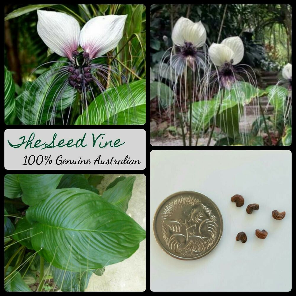 10 White Bat Flower Seeds Tacca Integrifolia Rare Tropical Fauna
