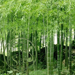 30Pcs Seeds Phyllostachys Pubescens Moso-Bamboo Seeds Garden Plants Decor Home