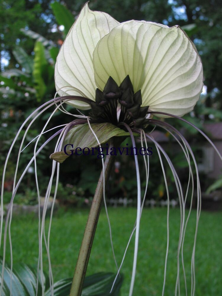 Tacca Chantrieri Nivea White Bat Flower 10 Seeds Free Ship Ebay