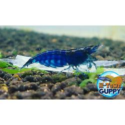 Kyпить 10 +1 Ultra Blue Dream - Freshwater Neocaridina Aquarium Shrimp. Live Guarantee на еВаy.соm
