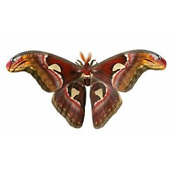 Kyпить Giant Snake Head or Atlas Moth Attacus Atlas Male Folded FAST FROM USA на еВаy.соm