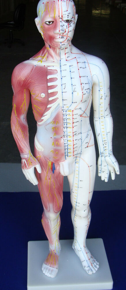 Model Anatomy Professional Medical Acupuncture Muscle Male