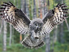 Owl / Bird 8 x 10 GLOSSY Photo Picture