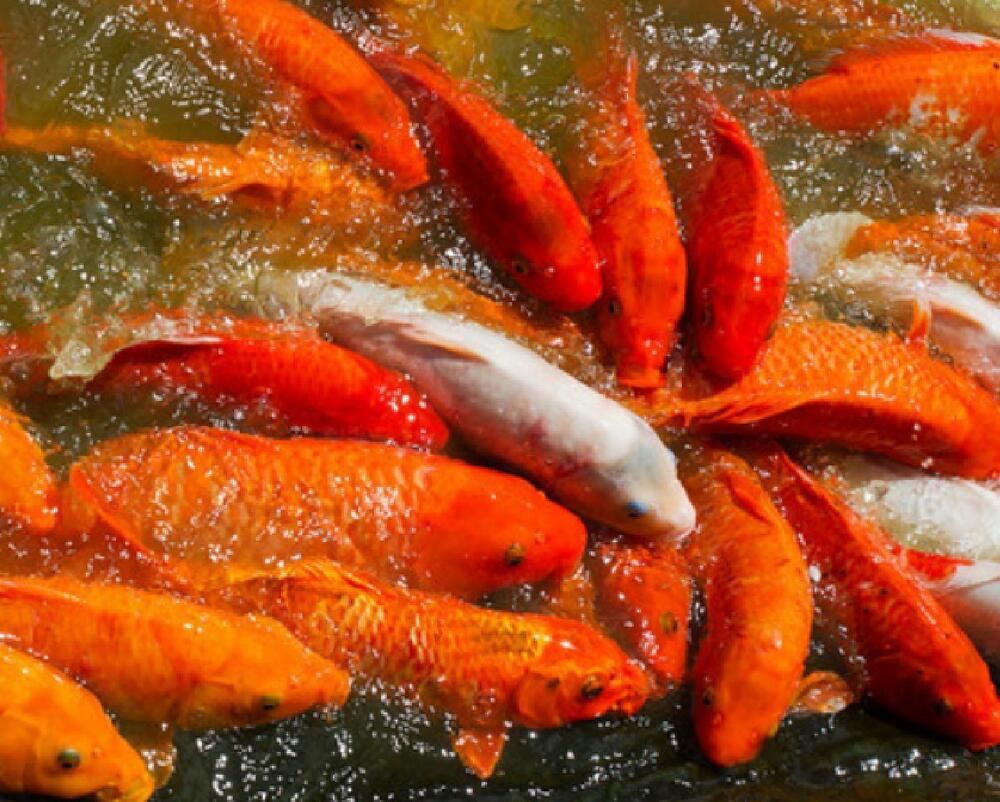 5 lbs koi 41 protein 3 16 energy growth floating for Best food for koi fish