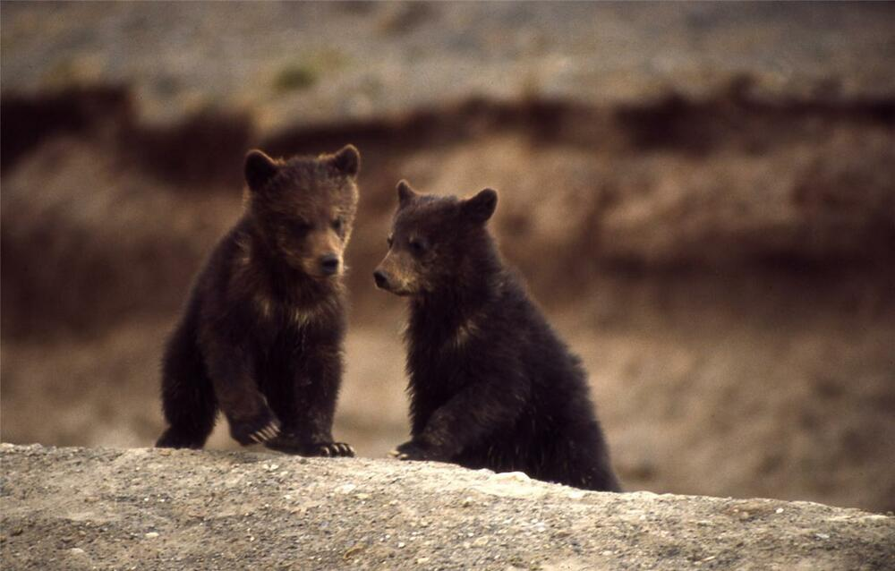 Bear Cubs Glossy Poster Picture Photo Baby Grizzly Polar