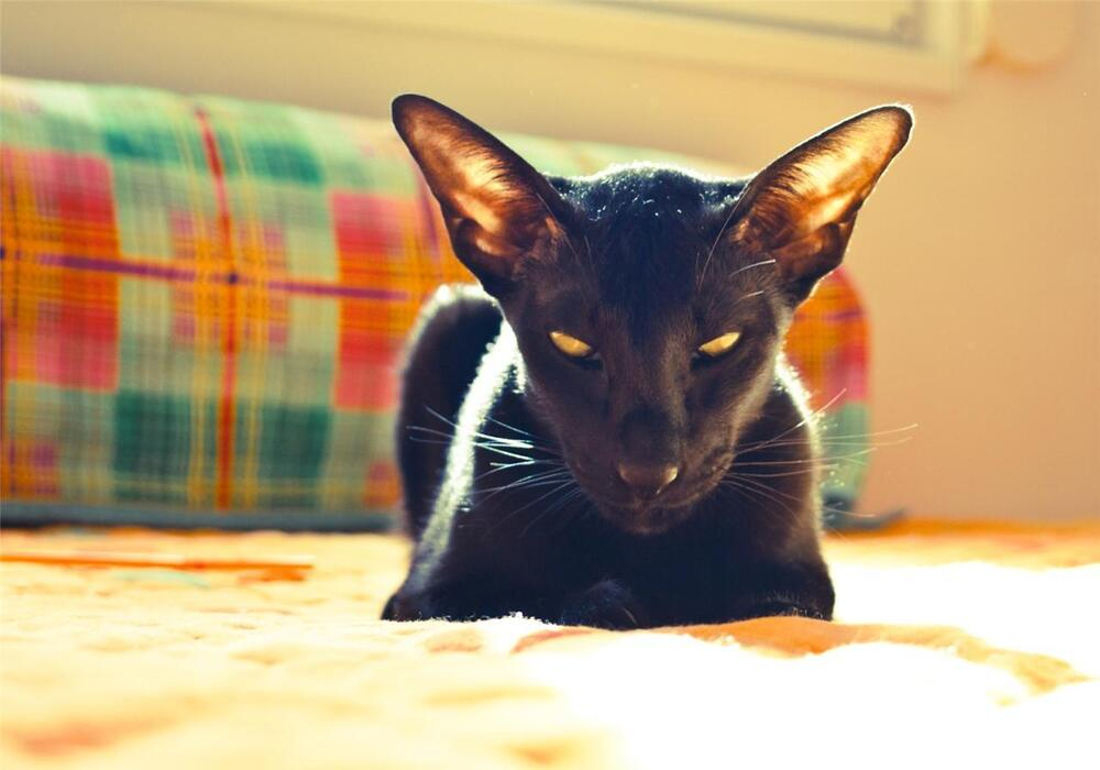 BLACK ORIENTAL CAT GLOSSY POSTER PICTURE PHOTO shorthair ...