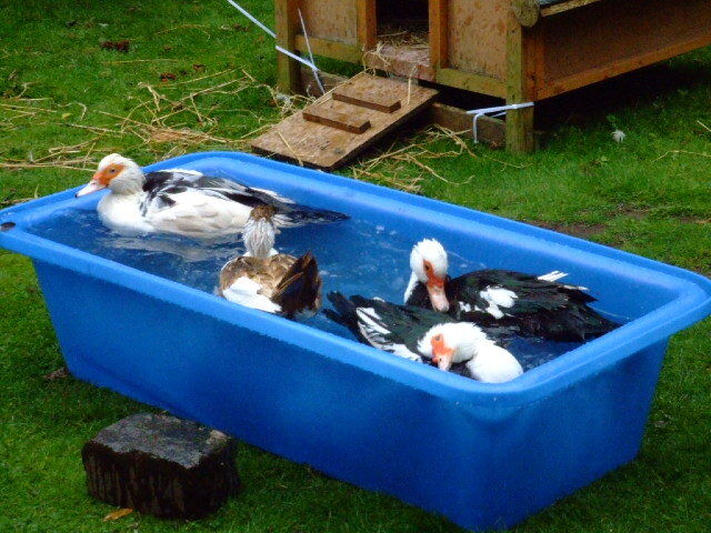 Qps plastic bath duck pond water trough tank ebay for Pond stuff for sale