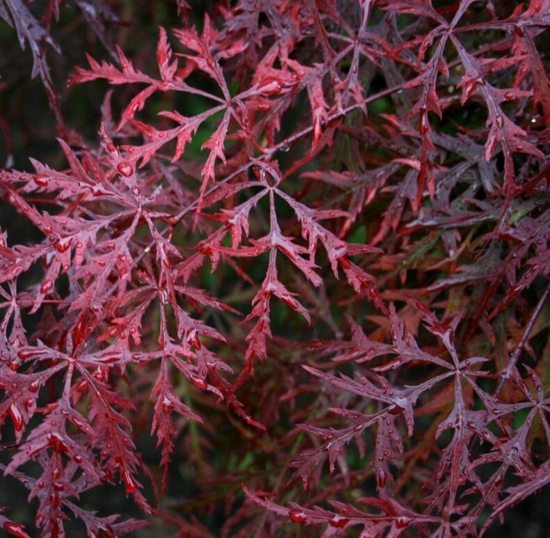 acer palmatum atropurpureum dissectum x10 seeds suitable. Black Bedroom Furniture Sets. Home Design Ideas