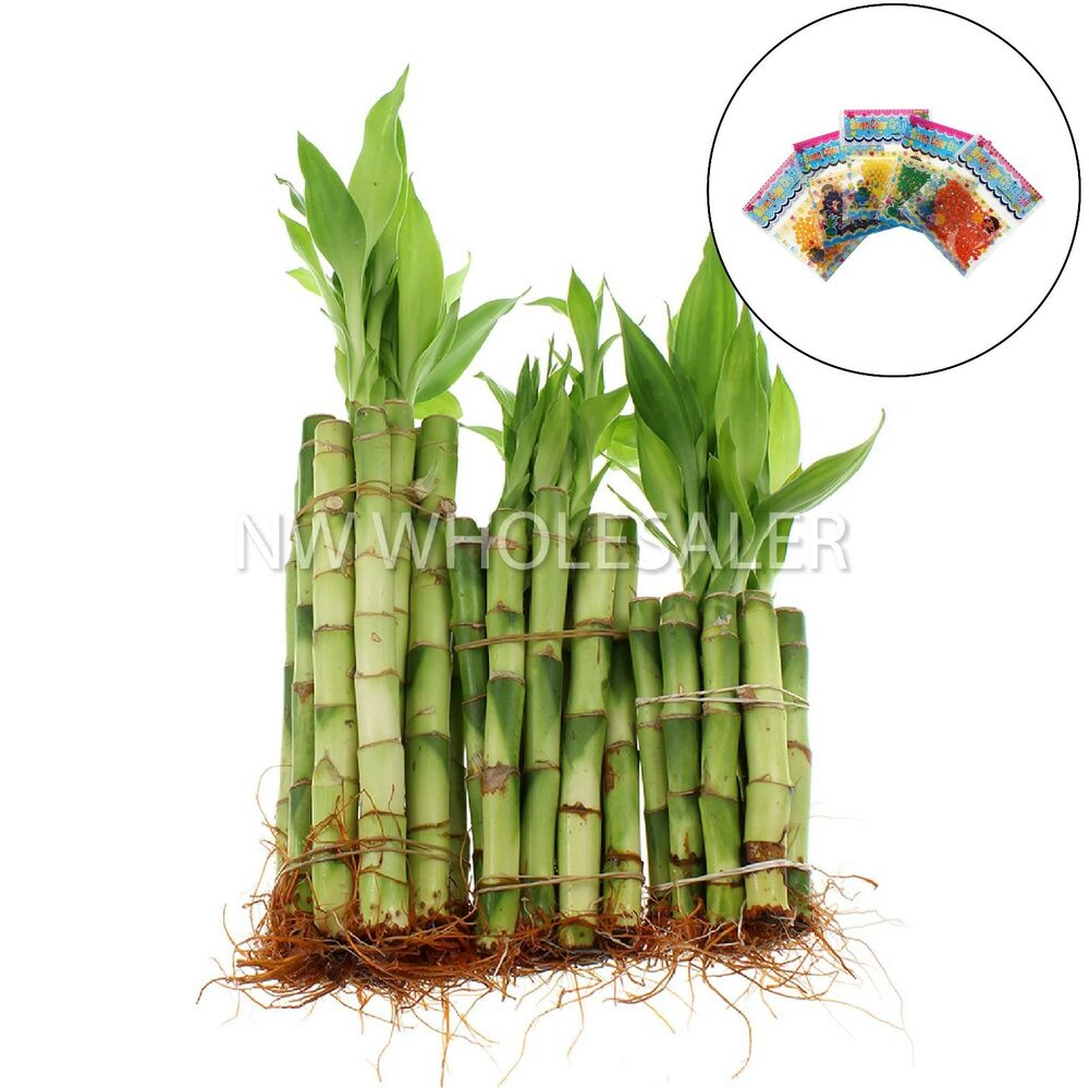 lucky bamboo 30 stalks 10 ea 4 6 8 straights. Black Bedroom Furniture Sets. Home Design Ideas