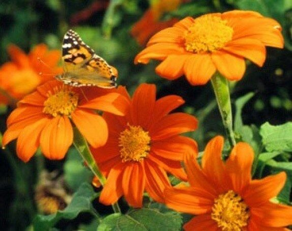 MEXICAN TORCH SUNFLOWER 25 FRESH SEEDS FREE USA SHIPPING