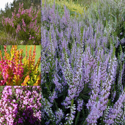 12 x mixed heathers calluna erica varieties colourful for Large flowering shrubs