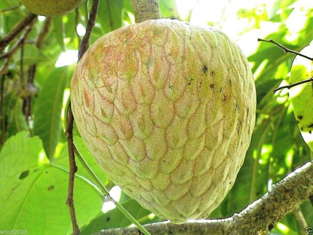 jamaican custard apple - photo #3