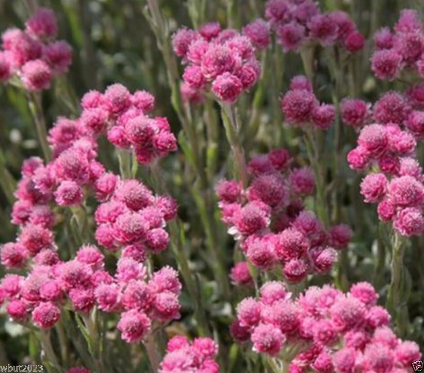 100 pink pussytoes seeds antennaria rubra perennial for Pink flower perennial ground cover