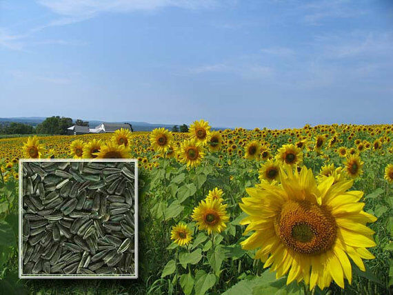 black oil sunflower seeds black sunflowers grow the best bird food available 29163