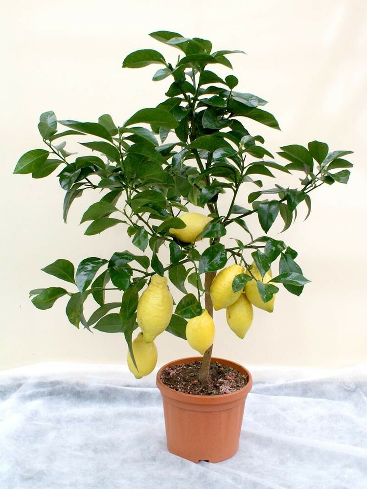 100 seeds of lemon tree yellow green indoor or outdoor for Buy a lemon tree plant