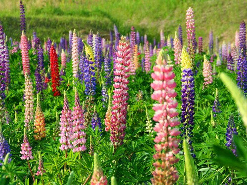 heirloom 100 seeds lupin lupinus lupine bluebonnet texas bluebonnet flower ebay. Black Bedroom Furniture Sets. Home Design Ideas