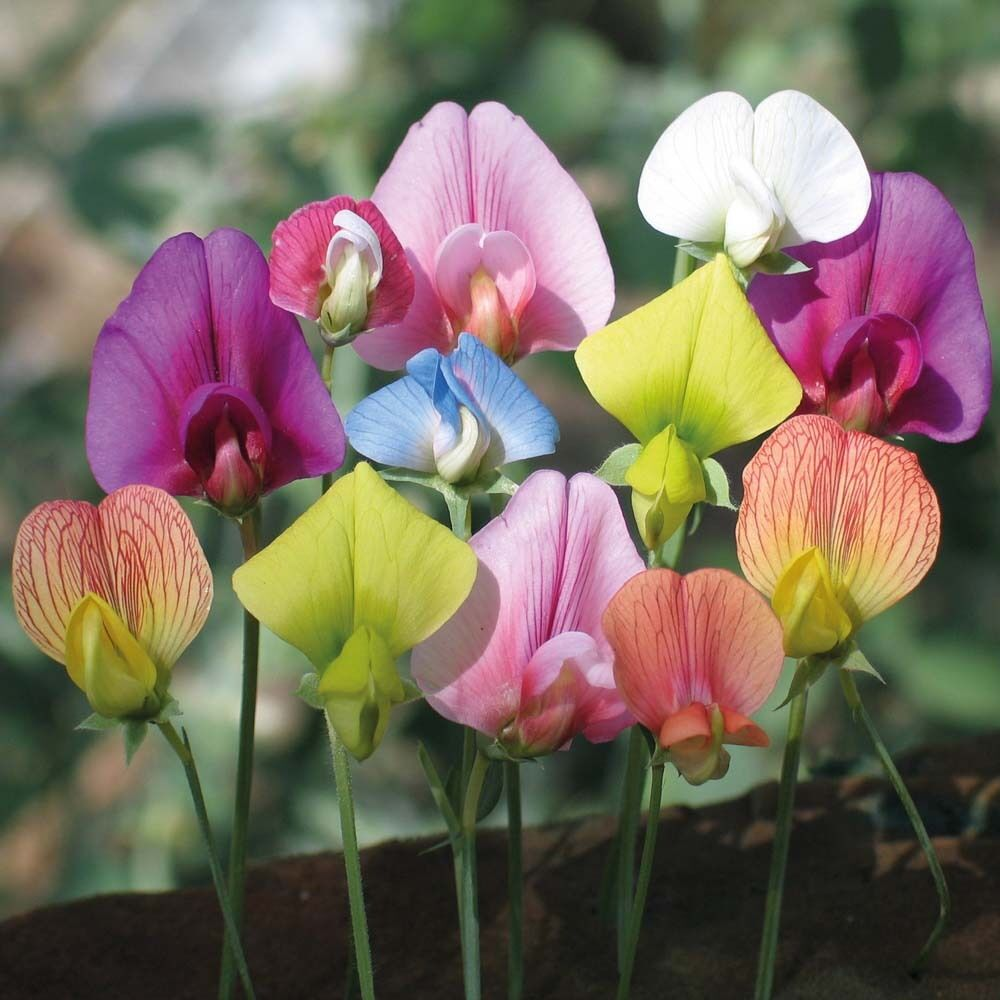 30 Seeds Sweet Pea Lathyrus Lord Anson's Bitter Vetch ...