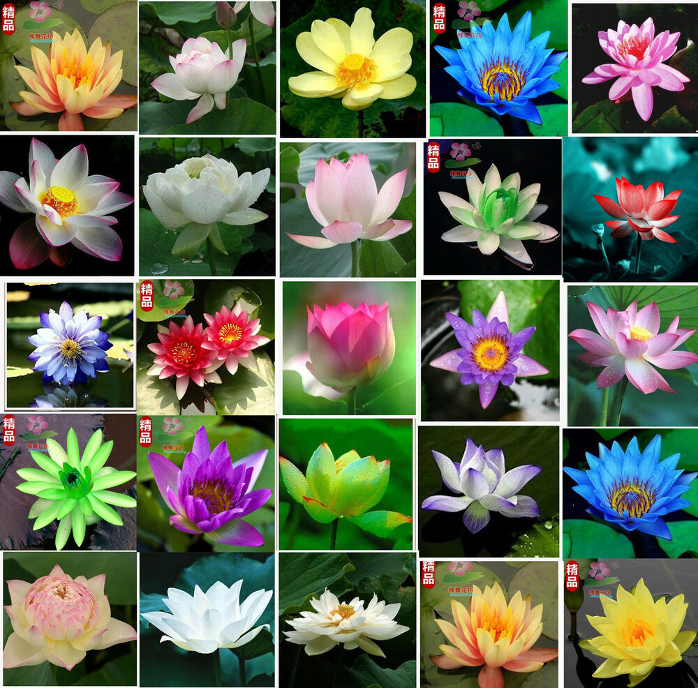 water lily seeds huge selection of colors mini lotus Hydroponic ...