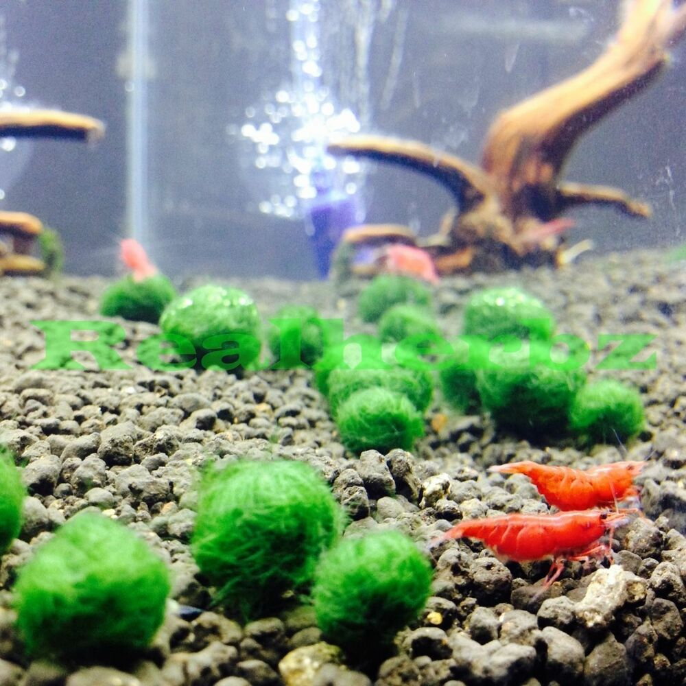25 x marimo moss balls 10mm cladophora live aquarium for Live fish tank