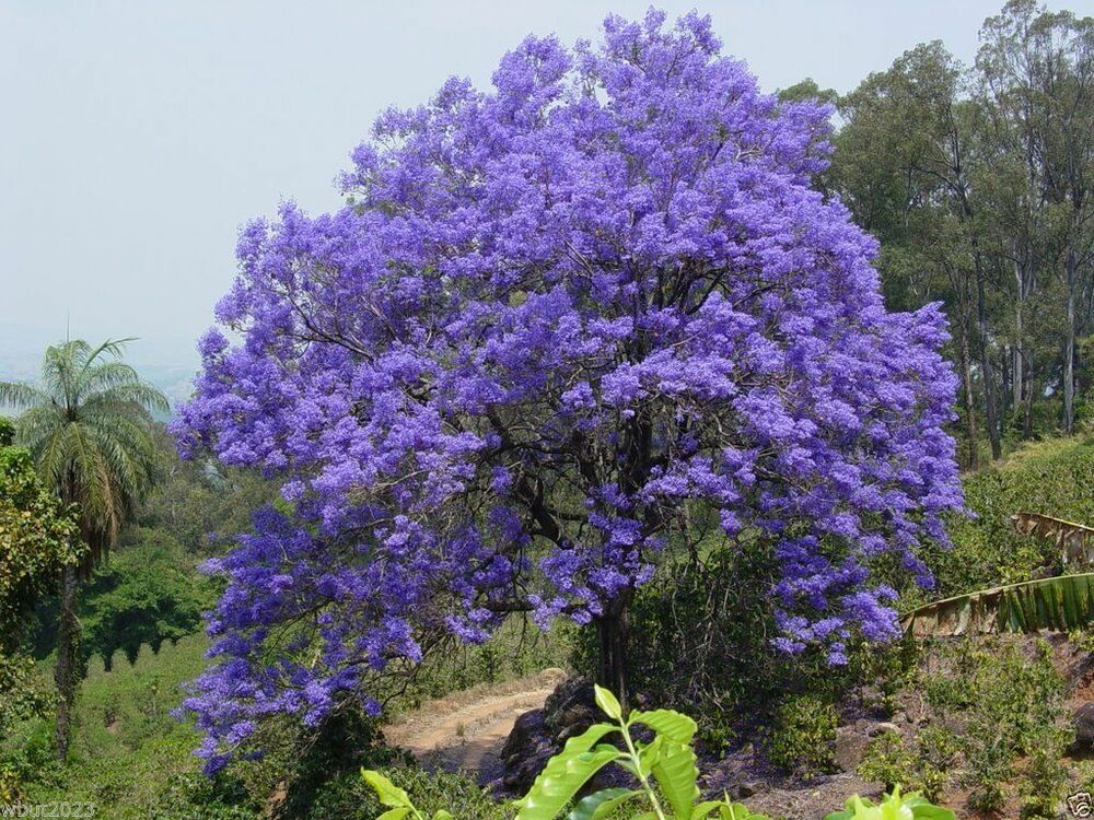 Jacaranda tree seeds jacaranda mimosifolia magnificent for Albero con fiori blu