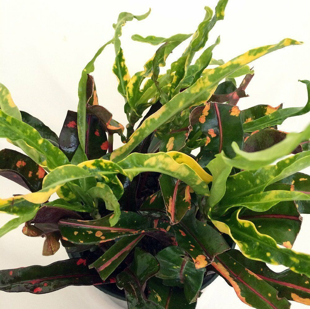 Dreadlocks croton 4 pot colorful house plant easy to grow ebay - Colorful indoor plants ...