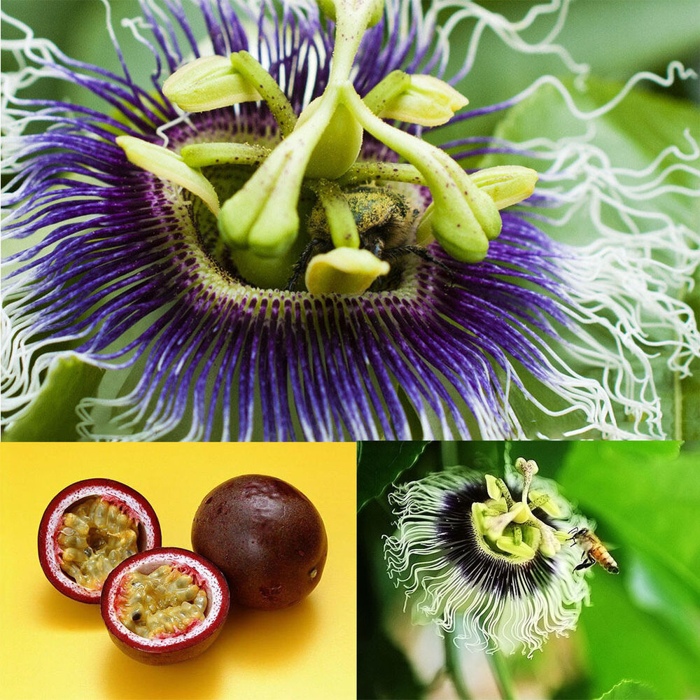 how to eat purple passion fruit