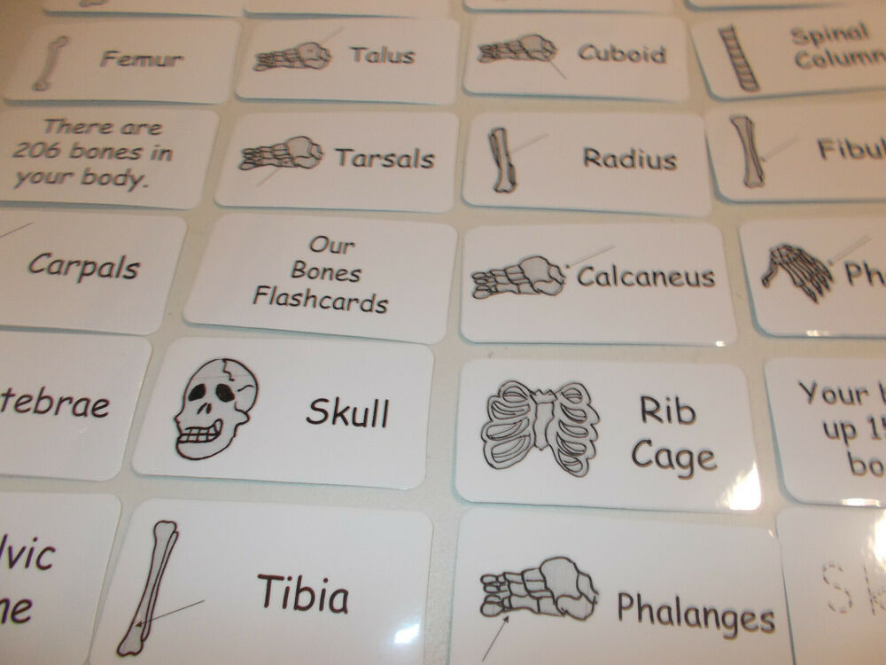Human Skeleton Flash Cards. Preschool Picture and Word Flash Cards ...
