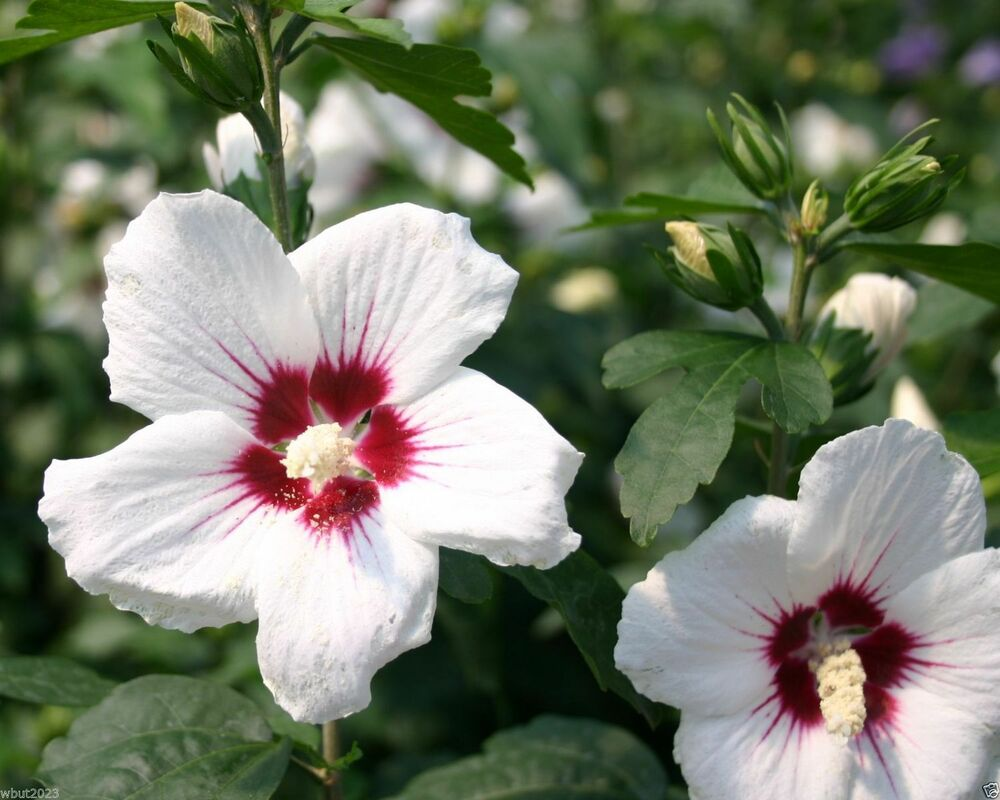 hibiscus syriacus red heart 20 seeds bloom summer to. Black Bedroom Furniture Sets. Home Design Ideas