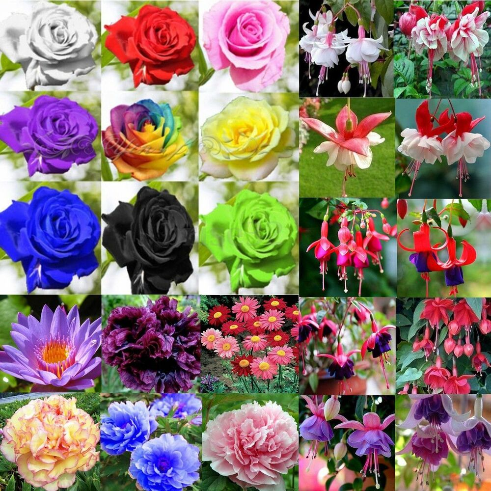 20 100pcs rare multi colors rose peony flower seeds home for Multi colored rose bushes
