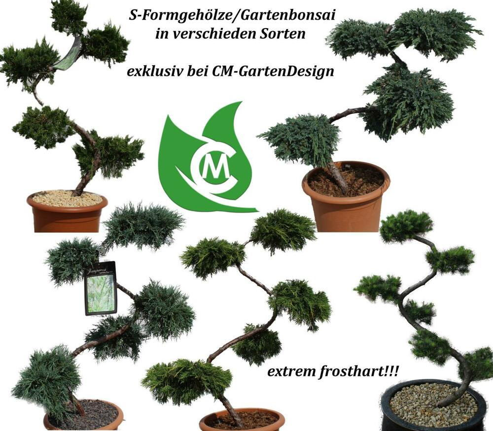 s formgeh lz garten bonsai juniperus wacholder larix l rche 90cm frosthart ebay. Black Bedroom Furniture Sets. Home Design Ideas
