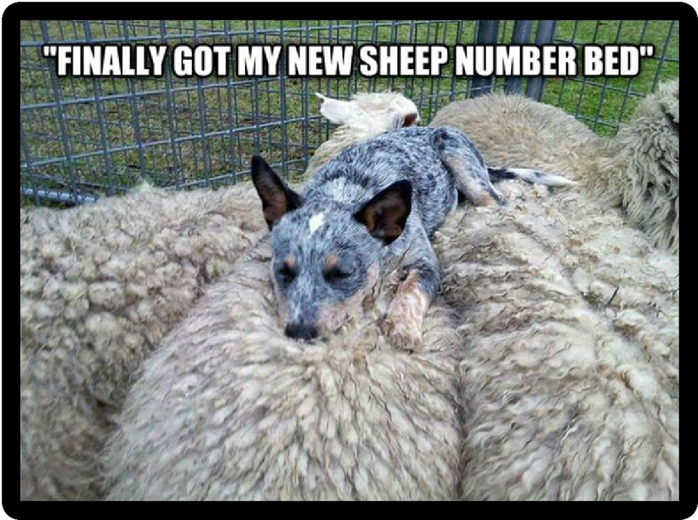 Sheep Number Bed Dog Photo